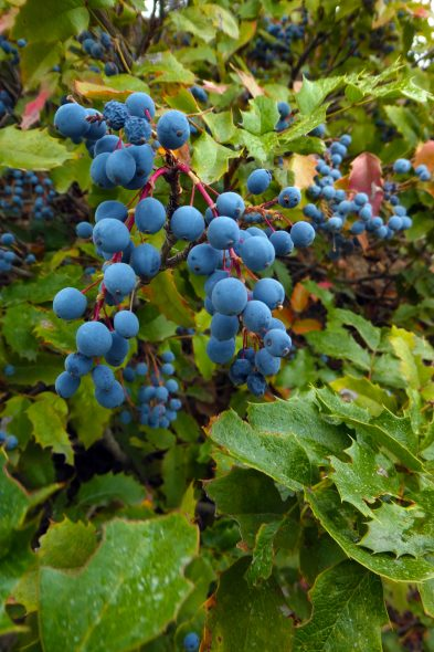 Oregon-grape-2-scaled
